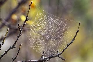 """O Reino dos Bichos: A teia da aranha....Mais forte que o aço? Cada espécie tem uma forma diferente de tecer . Usam as """"fiandeiras"""" que ficam no abdomem."""
