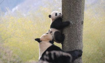 The Giant Panda Is No Longer Listed As Endangered | Huffington Post