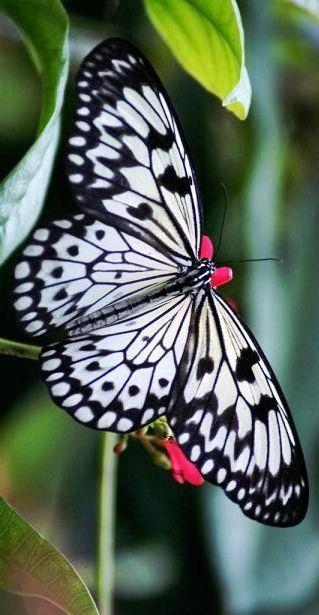 白と黒の蝶