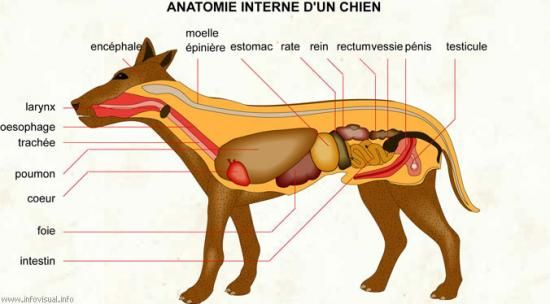 anatomie-interne-un-chien.jpg