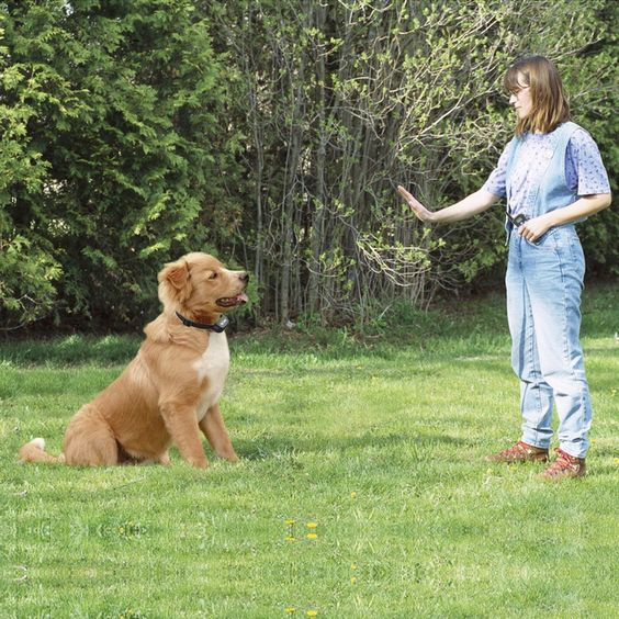 Training Dog Using Shock Collar