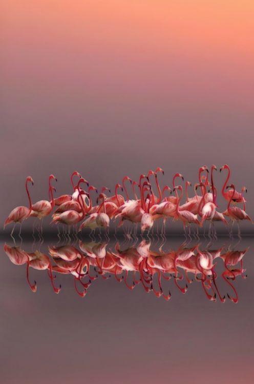 Les flamands roses doivent leur couleur a leur nourriture principale : les crevettes