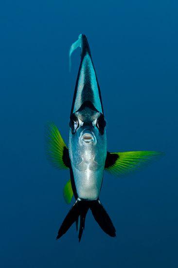 """Gemeiner Wimpelfisch, Heniochus acuminatus (aus """"Fotogalerie: Gesichter des…"""