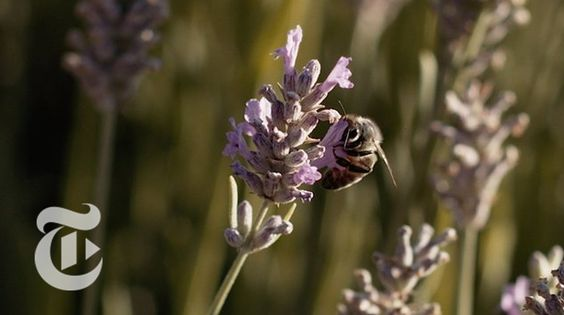 What's the Buzz About Wild Bees? | California Matters w/ Mark Bittman | ...