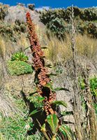Detalle de la inflorescencia del velón Rumex tolimensis,  roseta herbácea que secreta una substancia gelatinosa que actúa como regulador térmico.