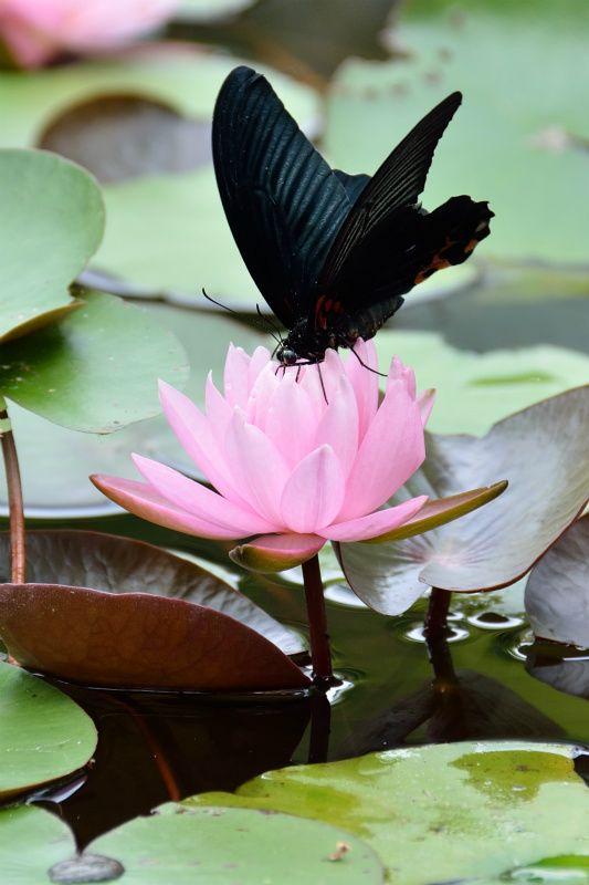 睡蓮の池 Trivialness 睡蓮 蓮の花 植物