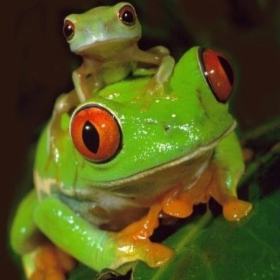 Red eye tree frog and another type of frog lol
