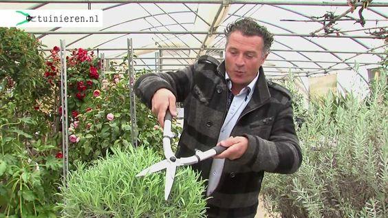 ► Blijf altijd op de hoogte van onze tuintips en het laatste tuinnieuws: http://tuinieren.nl/inschrijven-nieuwsbrief Lavendel snoeien doe je na de bloei, in ...