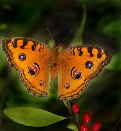 fotos de mariposas azules