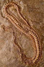 A 95-million year old snake (Pachyophis woodwardi) fossil found in marine rocks at Bosnia-Hercegovina. [Michael Caldwell ©, University of Alberta, used with permission]