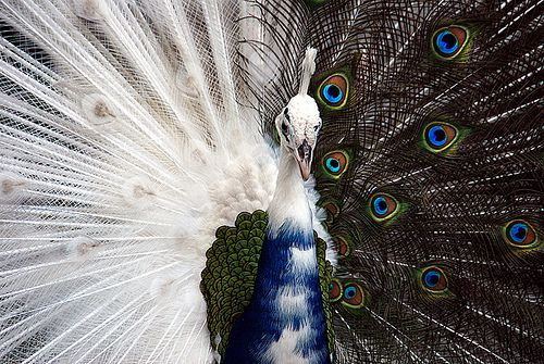 Half White Peacock | Recent Photos The Commons Getty Collection Galleries World Map App ...
