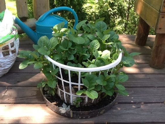Grow potatoes in a laundry basket! You can line it with newspaper, straw etc. Add a few inches of soil to your basket, add your seed potatoes, then cover with a few inches of ...