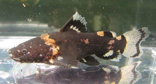 South American Bumblebee Catfish Microglanis Iheringi Catfish Catfish Fishing Catfish Tank
