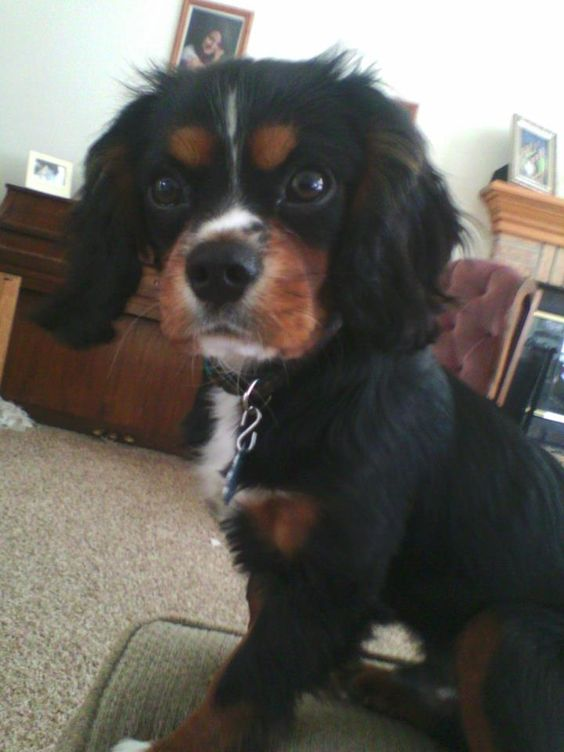 Graci's Cavalier King Charles Spaniel pup, Max :)