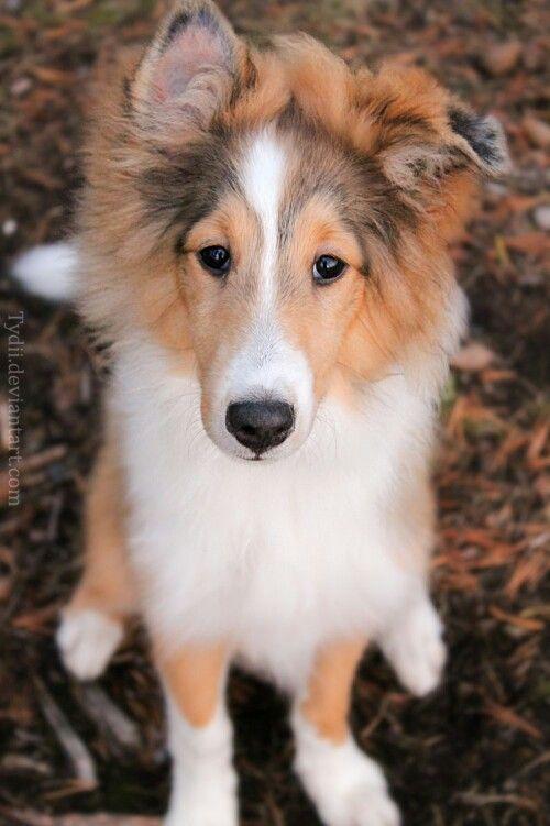 Adorable Little Rough Collie Puppy
