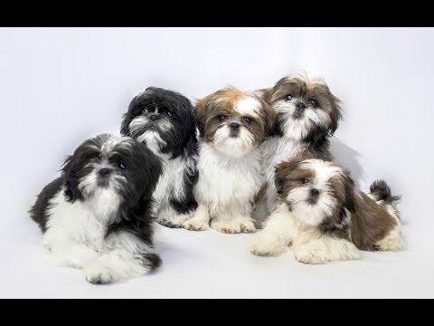 Top 10 Facts About Shih Tzu Shih Tzu Dog Breed Information Shih