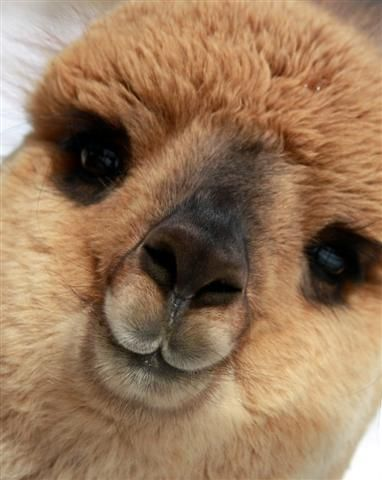 blue moon ranch alpacas pretty smile what a cute face alpacas pinterest alpaca park. Black Bedroom Furniture Sets. Home Design Ideas
