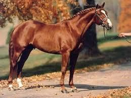 """The ancestor of the Hanoverian horse was the German """"war horse"""" of the Middle Ages. With the passing of the armored knight, the Hanoverian was bred with Spanish and Oriental horses to change its conformation for use as a cavalry horse. This new Hanoverian horse was capable of working under saddle, in harness on the farm or drawing carriages."""