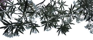 Oleander Overhang PNG by EveLivesey