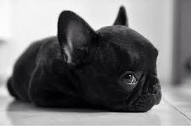 Image result for black bulldog puppy