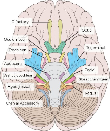Cranial Nerves Neatly Labeled.