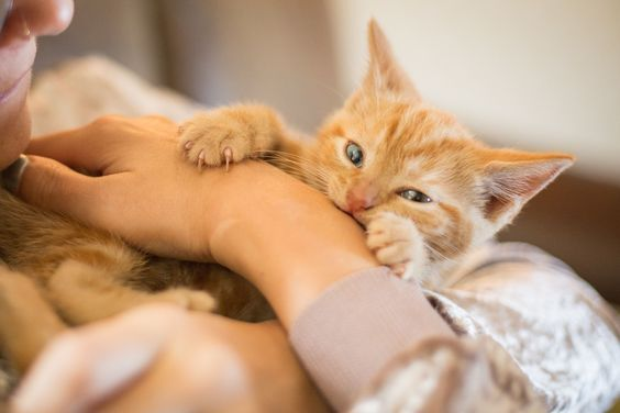 Why Do Cats Bite What Can You Do About It Cat Biting Kitten Biting Kittens
