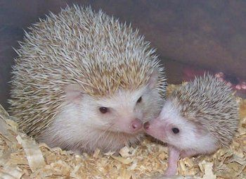 a hedgie mom and her baby !!: