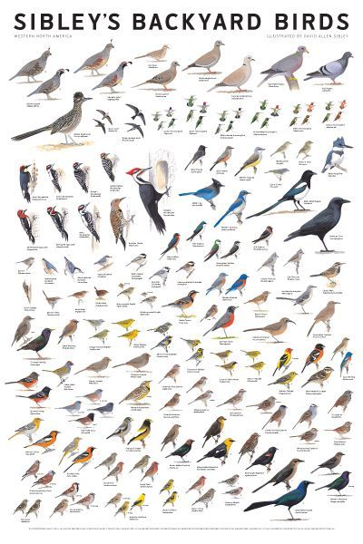 Sibley's Bird Calendars and Posters | Bird identification ...