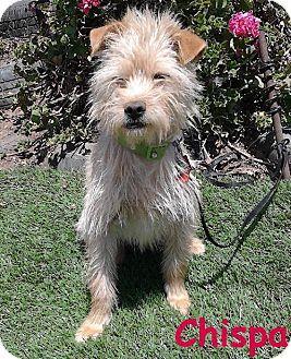 San Diego, CA - Terrier (Unknown Type, Medium) Mix. Meet Chispa, a dog for adoption. http://www.adoptapet.com/pet/10924014-san-diego-california-terrier-unknown-type-medium-mix