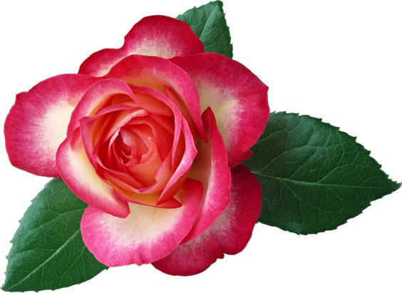 Large Rose Clipart Picture