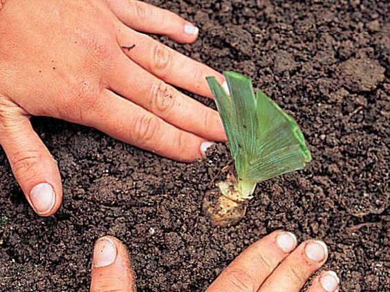 www.rustica.fr - La division des iris en été - Planter peu profondément