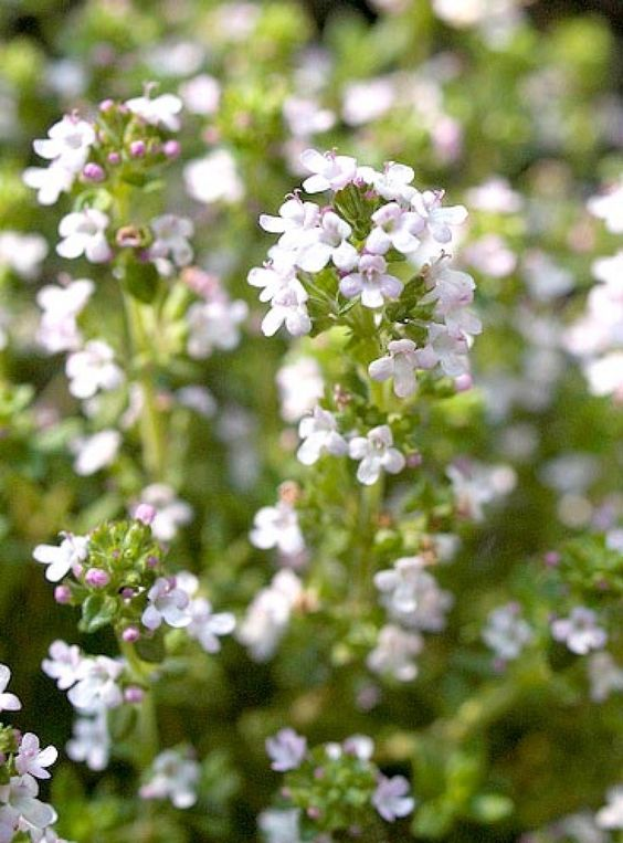 thyme_flowers_2_1.jpg (800×1083)
