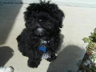 Cute Little Fluffy Black Dogs