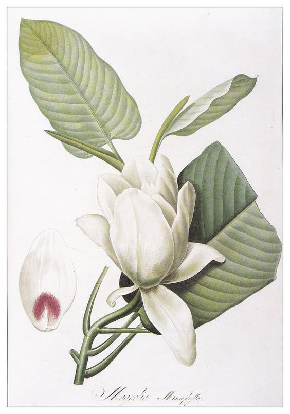 vintage plant tree white flower Botanical print Magnolia by Pierre-Joseph Redouté home decor wall art 8.25 x 12  inches