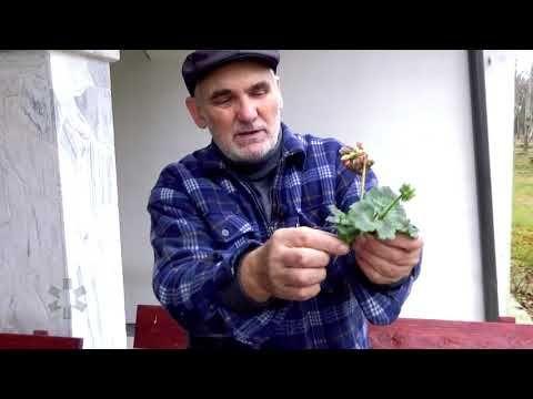 Rozmnazanie Pelargonii Youtube Casual Button Down Shirt Mens Tops Men Casual
