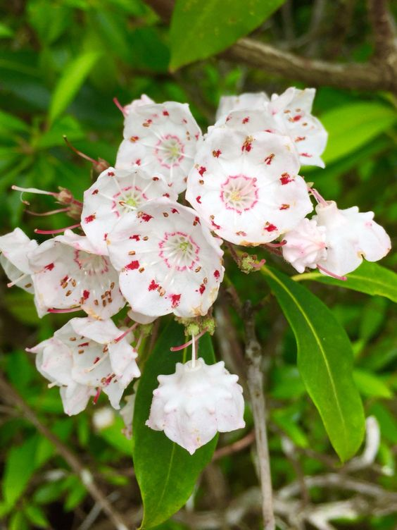 The Mountain Laurel Is At Peak Bloom In The Highlands Of West Virginia Near Davis Mountain Laurel West Virginia Virginia