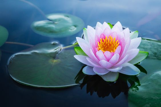 Manfaat dan Keunikan Bunga Teratai yang Jarang di Ketahui