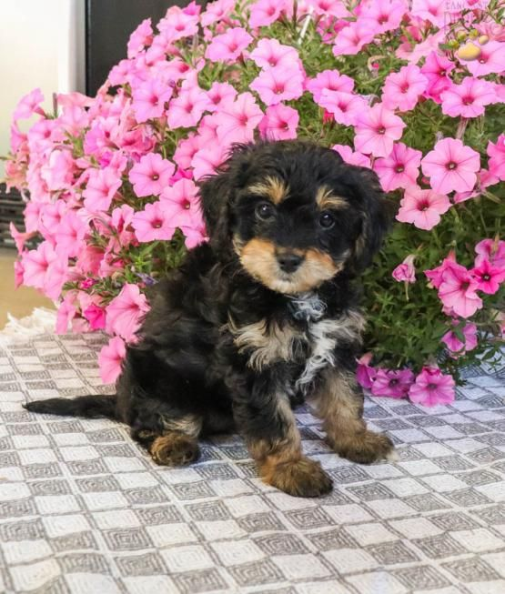 Lexi Cavapoo Puppy For Sale In Millmont Pa Lancaster Puppies