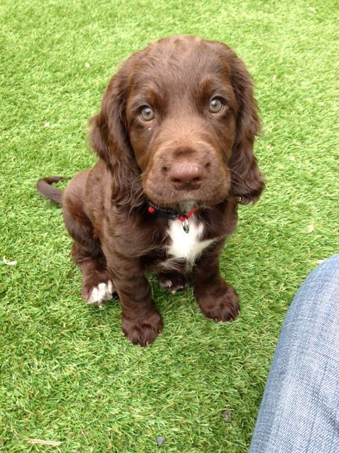 Dog Training Aggression Saleprice 29 English Cocker Spaniel Puppies Working Cocker Cute Dogs Puppies