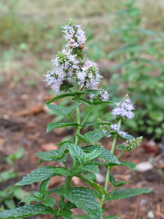 Peppermint and Nausea- A case study: end of life care