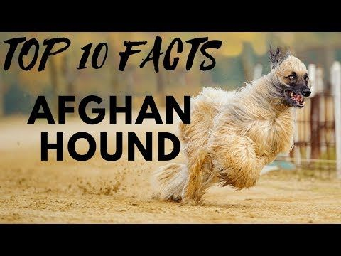 Afghan Hounds Have Been Famous For Their Elegant Beauty Thick