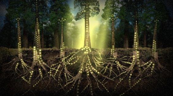 """AgroA -- Las plantas se comunican mediante una Internet de hongos   """"La Web del Bosque"""" = Ocultos bajo la superficie y enredados en las raíces de la asombrosa y diversa vida vegetal de la Tierra, existe una superautopista biológica que vincula entre sí a los miembros del reino vegetal"""