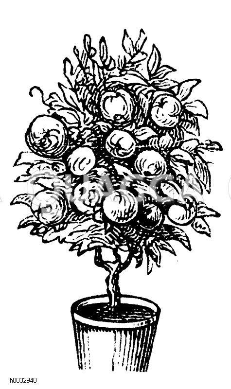 Topfobstbaum: eine der Formen die man dem Topfobstbaum geben kann