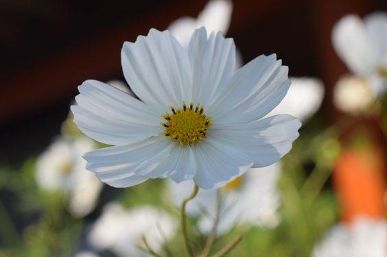 white flower - weiße Blüte ausgenommen in Berlin