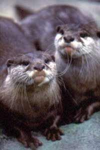 Asian small-clawed otters at Indianapolis Zoo. Photo by Rich Clark