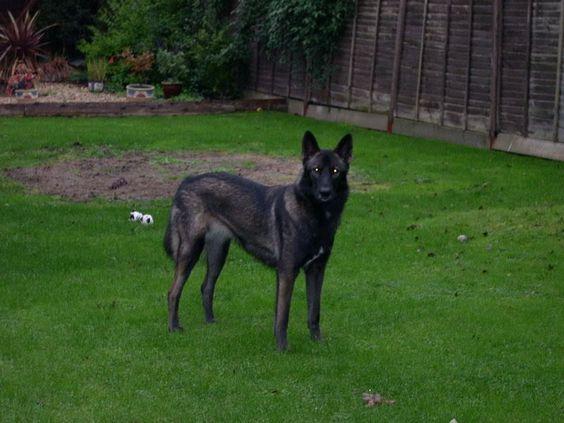 Black Tamaskan Dog