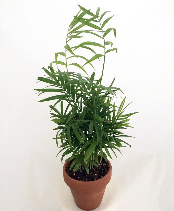 "Amazon.com : Hirt's Victorian Parlor Palm - Chamaedorea - 4"" Ceramic Pot/Saucer : Patio Dining Tables : Patio, Lawn & Garden"
