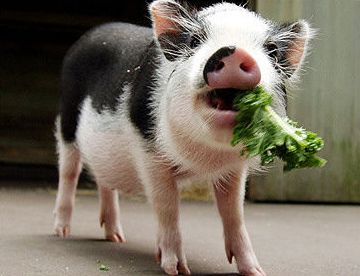 really+cool+pigs | Baby pot belly pigs require a lot of tender love and care.