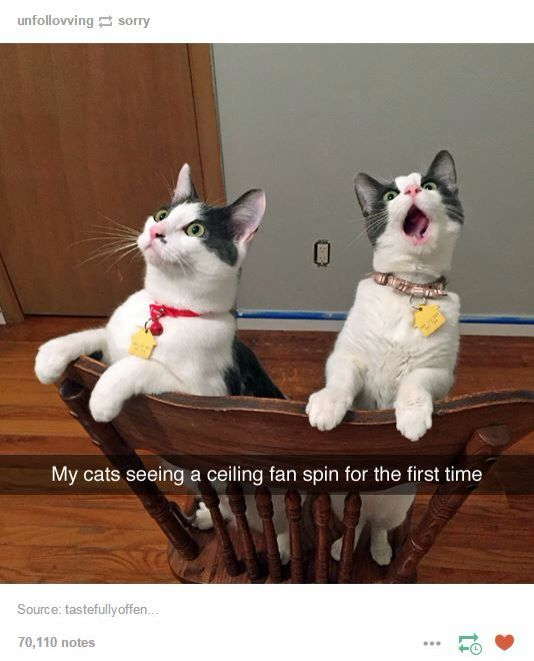 Cats watching a ceiling fan for the first time