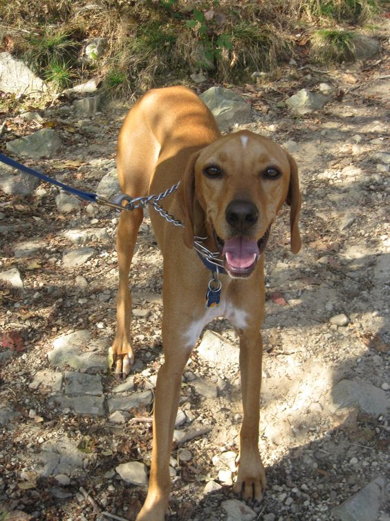 red tick coonhound | R...